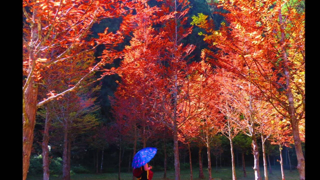 「武陵農場楓葉」的圖片搜尋結果