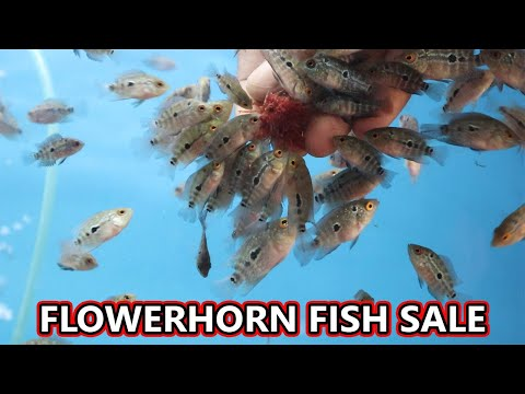 Flowerhorn Babys And High Grade Fish Sales-Hornfishnation