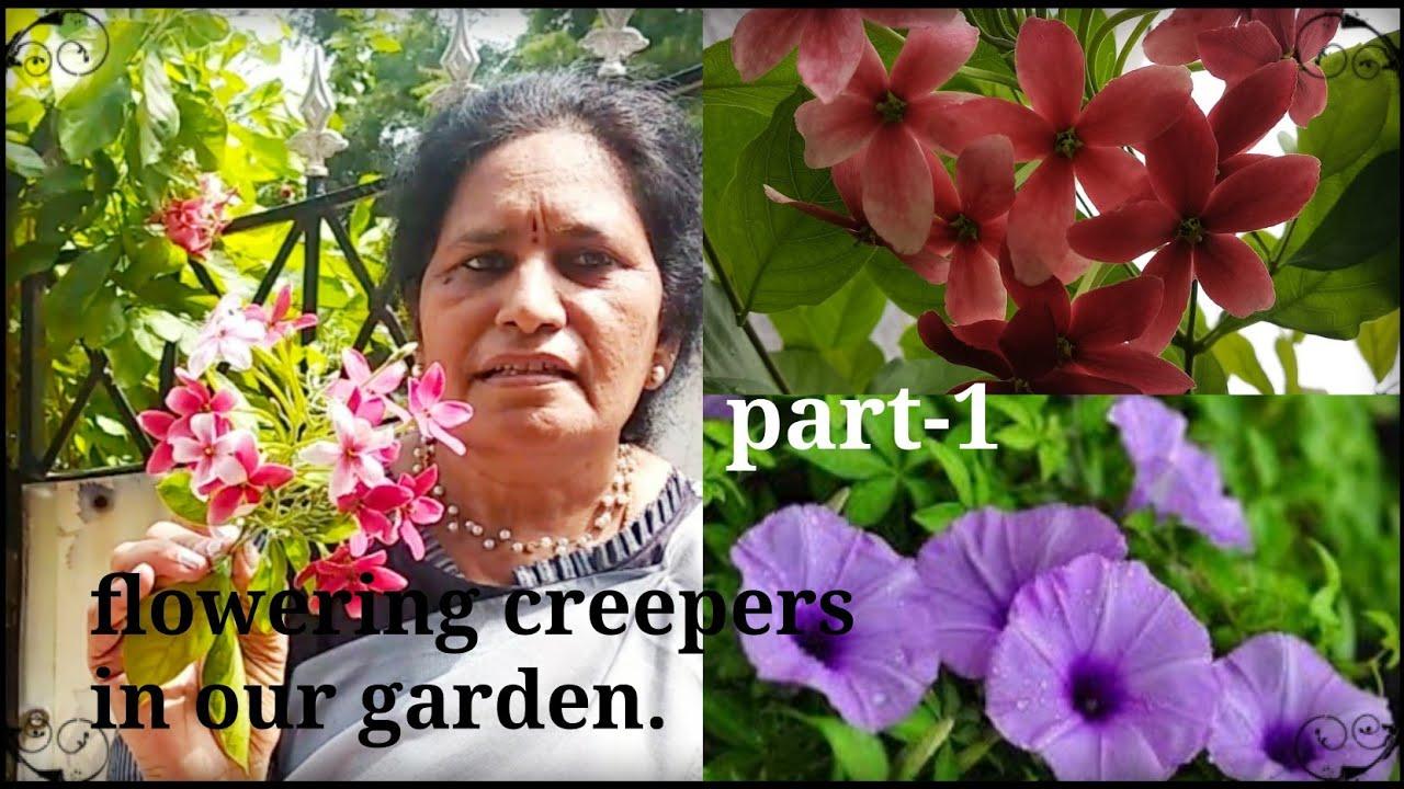 Download How to grow and care RADHA  MANOHARAM/ Madhu Malathi and Railway creeper.Maa ఇంట్లో పూల తీగలు.