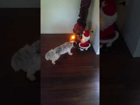 Stupid Stanley sees his first Christmas deccie
