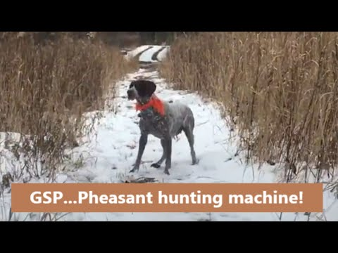 Hunting with German Shorthaired Pointers