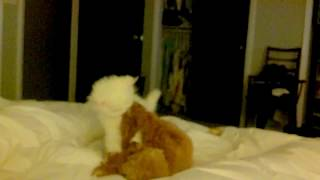 Toy Poodle VS Mini Persian Kitten
