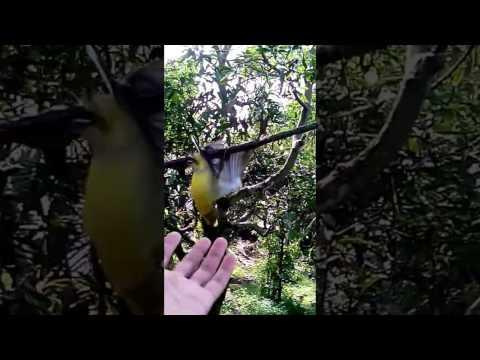 Cara tangkap burung cikblek prenjak kolibri pakai mp3