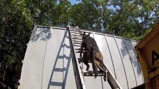 K9 Ladder Training
