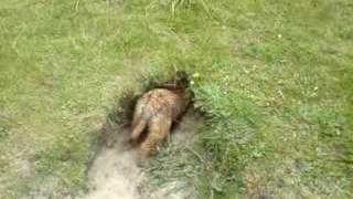 Amazing Border Terriers Down Rabbit Hole