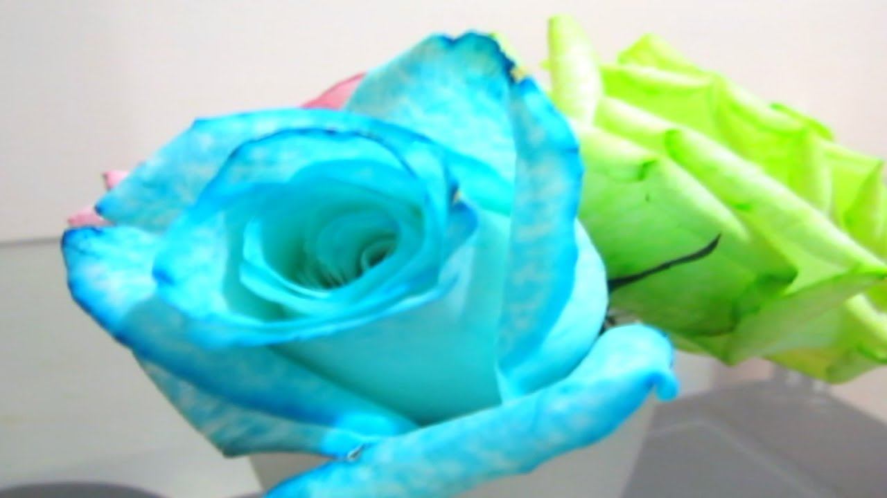f8fea0dcb DIY how to color roses - YouTube