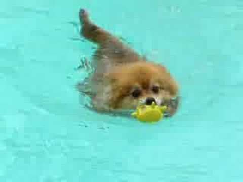 Funny Little Red Pomeranian S Best Swimming Adventure