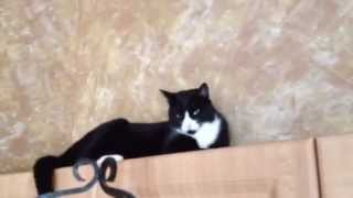 GARY THE TUXEDO CAT CLIMBS HIGH