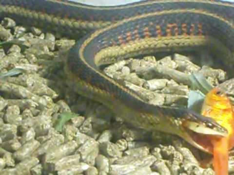 Snakes eating fish youtube for Snake eating fish