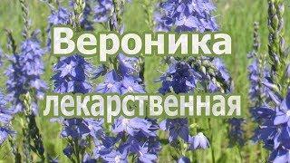 Трава вероника лекарственная, лечебные и полезные свойства растения, применение, рецепт настоя.
