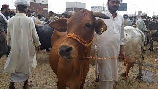 Sahiwal Cow - Cow Mandi - Bakra Mandi - 2018 - SASSTI SIRF KHAMOOSH...
