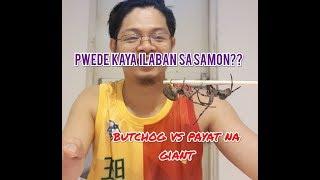 gagambang Giant; Giant vs Giant sparring