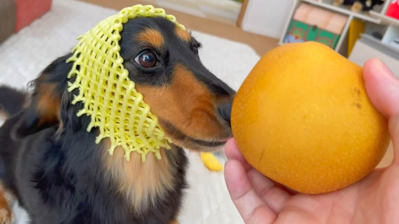 初めての梨に興奮が隠せない愛犬が可愛すぎる【ダックスフンド】