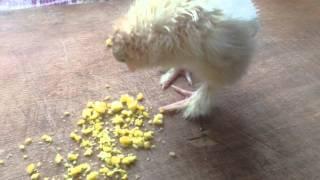 Суточный цыпленок породы Брама(Всем привет - я парень из вчерашнего видео! Обсох, осмотрелся, и готов к подвигам! Хотя может я и курочка :)..., 2016-03-22T13:33:22.000Z)