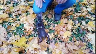 Купить щенка той-терьера недорого.Русский той, мини, РКФ.8-905-546-66-92
