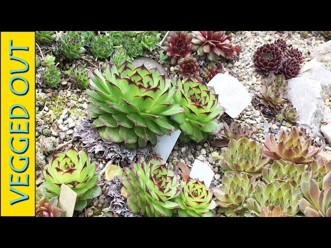 VEGGED OUT RANDOMNESS - SEMPERVIVUM - SPIDER - SEDUM - COLD HARDY SUCCULENTS HENS & CHICKS