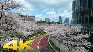 Roppongi Tokyo Midtown cherry blossoms 2017- Long Take【東京・東京ミッドタウン】 4K