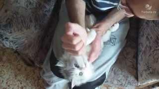 Как лечить животик котёнку   смотреть видео