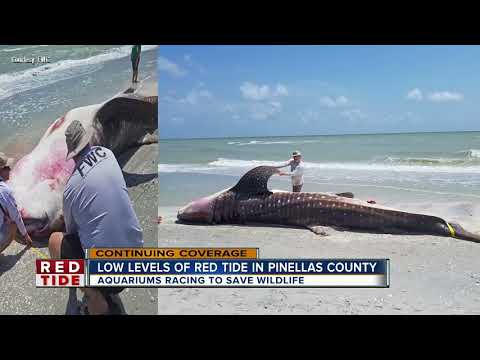Sea Turtles And Dolphins Impacted By Red Tide In Manatee County