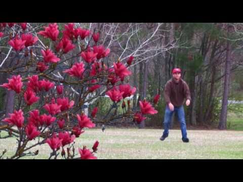 Japanese Magnolia Tree Magnolia Liliflora Randy Redsaucer