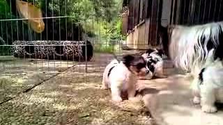 Portée De Chiots Biewer Yorkshire Terriers