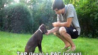 3 Months Old Labrador Puppy Training And Tricks