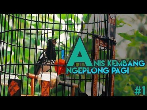 Anis Kembang Ngeplong Pagi HD #1 | Eter | Cocok Untuk Masteran