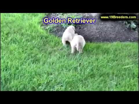 Golden Retriever, Puppies, Dogs, For Sale, In Miami, Florida, FL, 19Breeders, Tallahassee