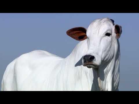 Lote 11   Acacia OuroFino   OURO 3016   NOVO Copy