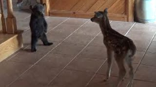Baby Bear Tries to be Friends with Baby Deer