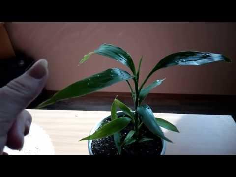 Вопрос: Можно ли размножить водяной бамбук делением стебля?