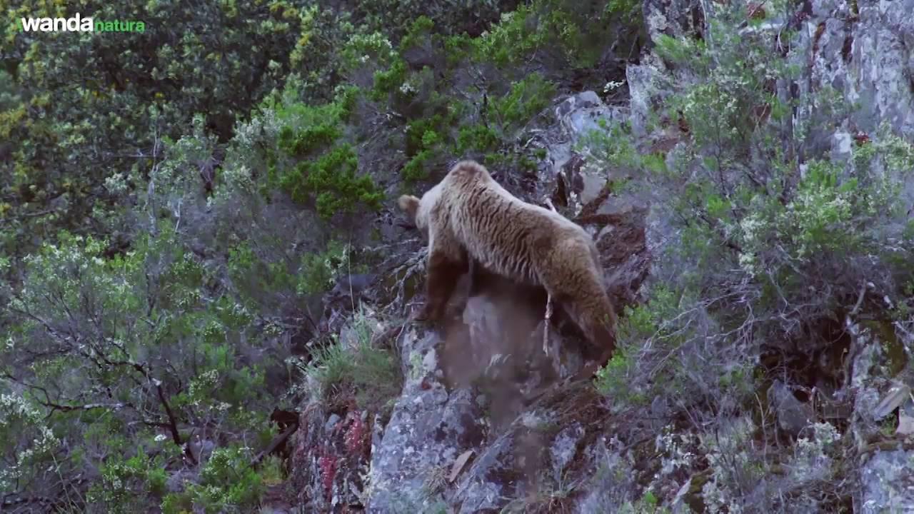 Trailer Cantábrico, los dominios del oso pardo