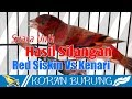 Silangan Burung Red Siskin Vs Kenari. Breeding Red Siskin With Canary Bird