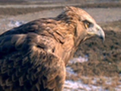 Golden Eagle vs. Jackrabbit | National Geographic