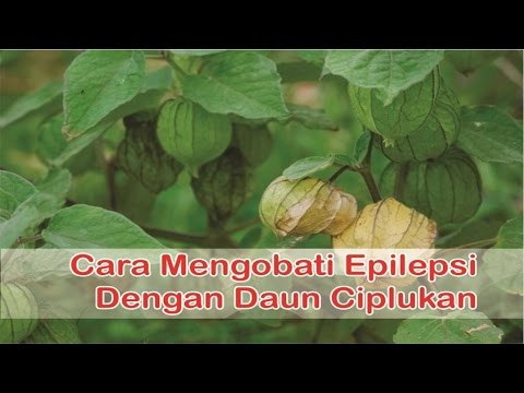"""""""obat-epilepsi-herbal"""",-cara-cepat-mengobati-epilepsi-dengan-""""manfaat-daun-ciplukan"""""""