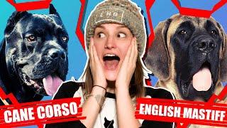 CANE CORSO VS ENGLISH MASTIFF