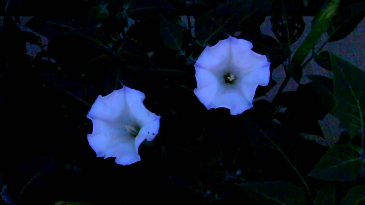Sexy Moon Flowers Blossoming 25x Time Lapse Youtube