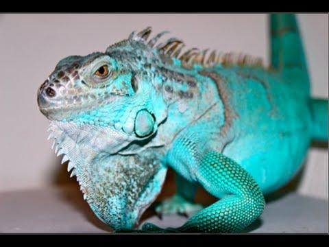 Subadult Blue Axanthic Iguana