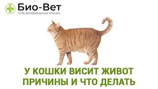 У кошки висит живот-причины и что делать