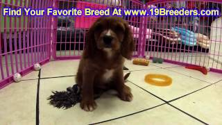 Cavalier King Charles Spaniel, Puppies, For, Sale, In, Gresham, Oregon, County, Or, Multnomah, Washi