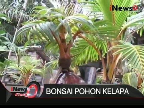 Unik Pohon Kelapa Dibonsai Inews Siang 11 01 Youtube