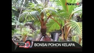 Unik, Pohon kelapa dibonsai - iNews SIang 11/01
