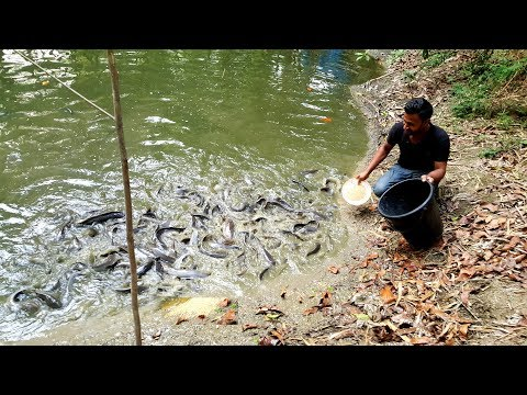Feeding African Catfish - Big Big Size Catfish Reaction While Throwing Food In a Small Fish Farm