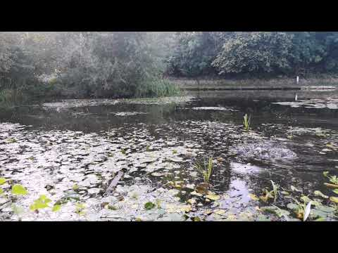 Sheffield Canal's Big Carp With Bread