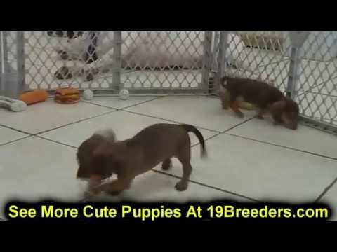 Miniature Dachshund, Puppies, Dogs, For Sale, In Albuquerque, New Mexico, NM, 19Breeders, Rio Rancho