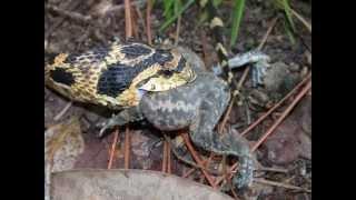 HETPLAXXX eats a toad