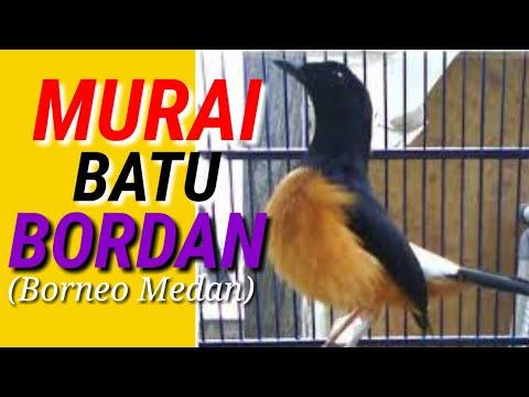 Murai Batu Bordan (Borneo x Medan)