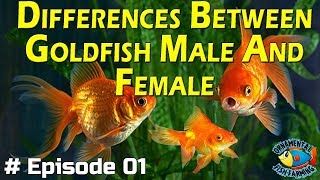 Differences Between Goldfish Male And Female  goldfish tank