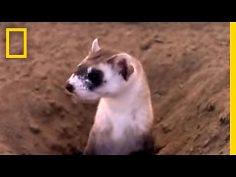 Black Footed Ferrets | National Geographic