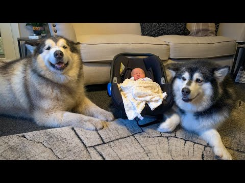 Alaskan malamute meets new baby for the first time (cutest reactions)